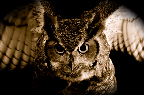 Great-horned-owl-1